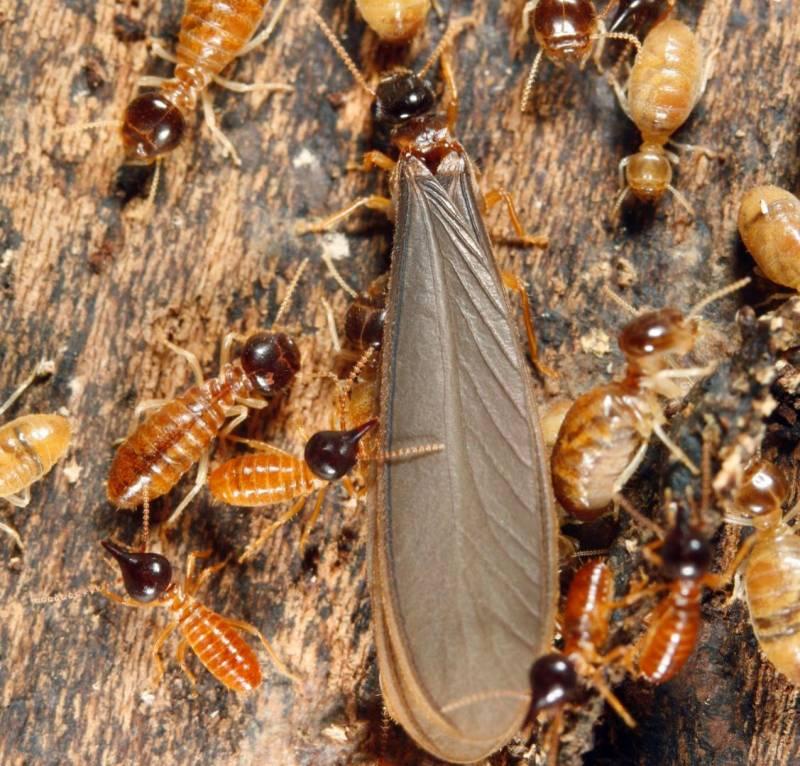 comment savoir si on a des termites chez soi ou sur son terrain en gironde d ratisation et. Black Bedroom Furniture Sets. Home Design Ideas